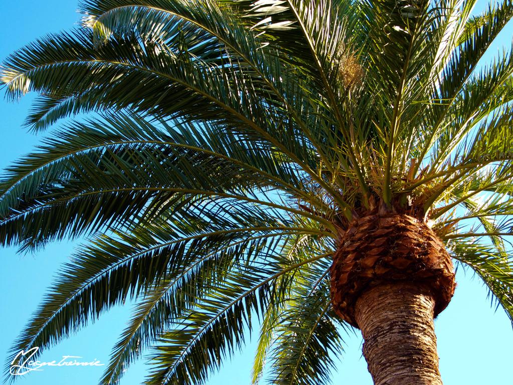 #9970 Palm Tree